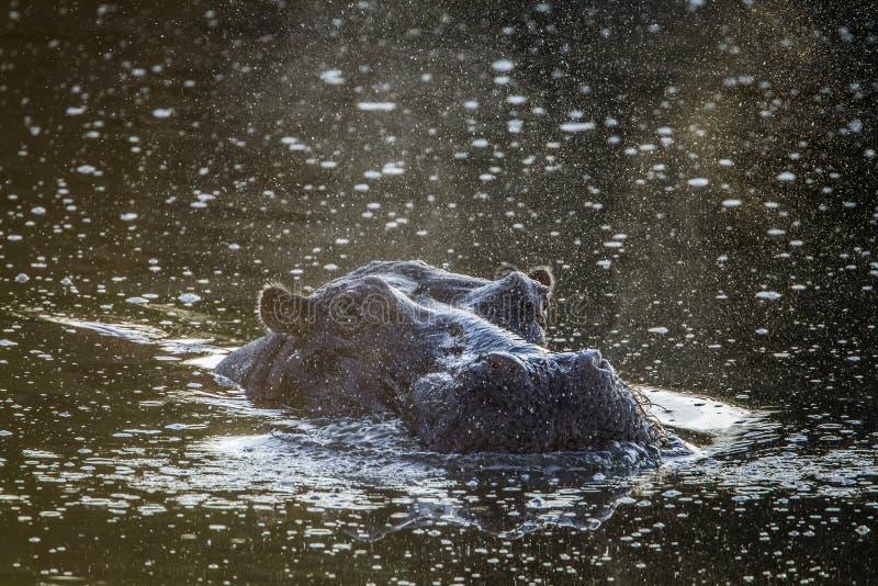 Hipopótamo no parque nacional de Kruger, África do Sul imagem de stock royalty free