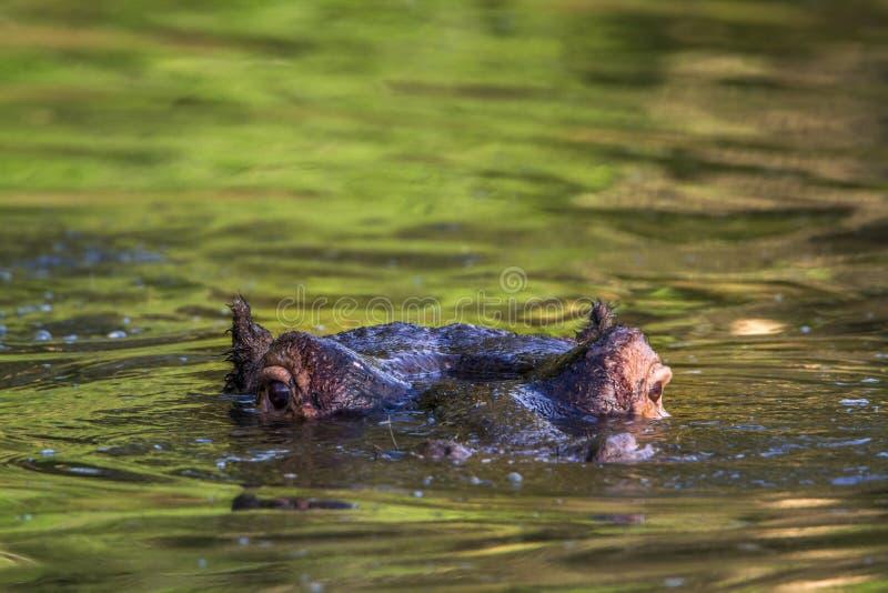 Hipopótamo no parque nacional de Kruger, África do Sul fotos de stock royalty free
