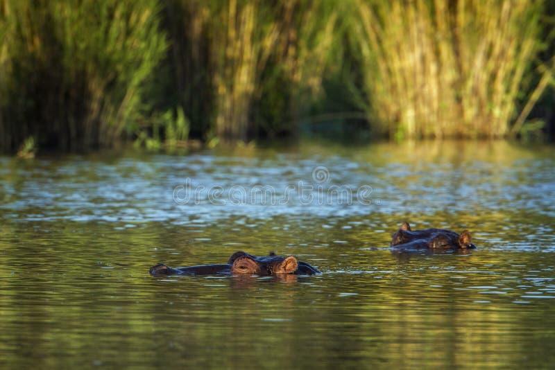 Hipopótamo no parque nacional de Kruger, África do Sul imagens de stock