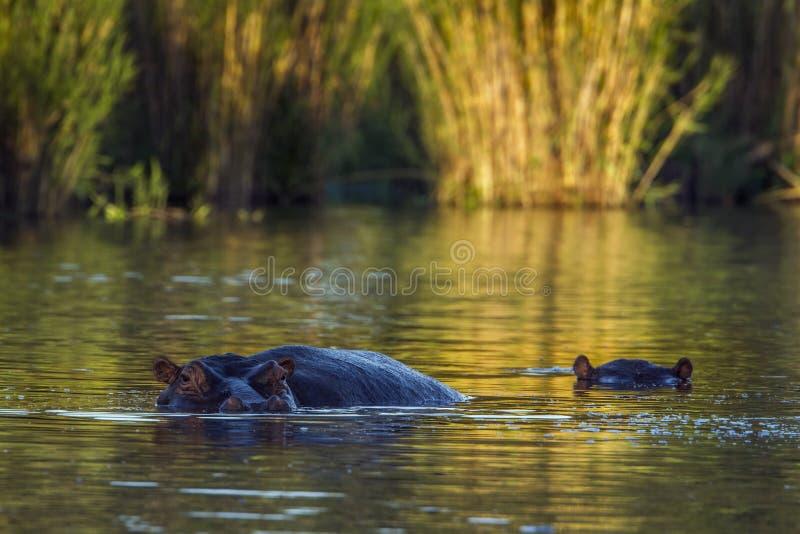 Hipopótamo no parque nacional de Kruger, África do Sul fotografia de stock royalty free