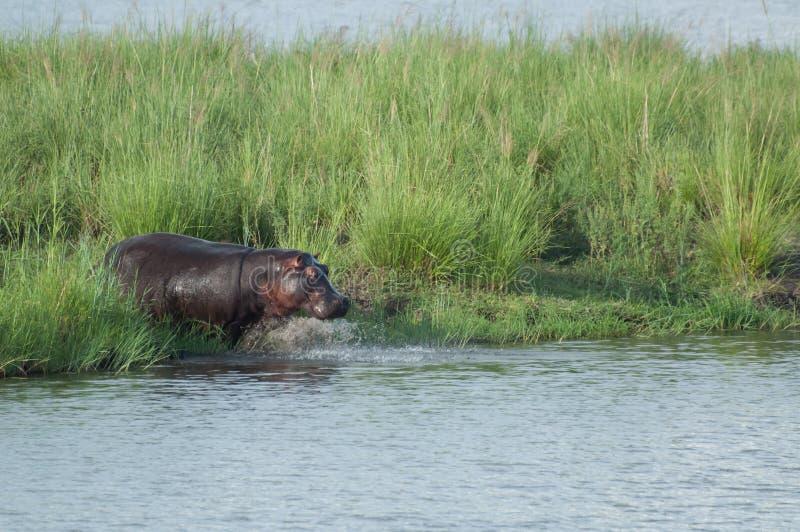 Hipopótamo que entra na água fotografia de stock