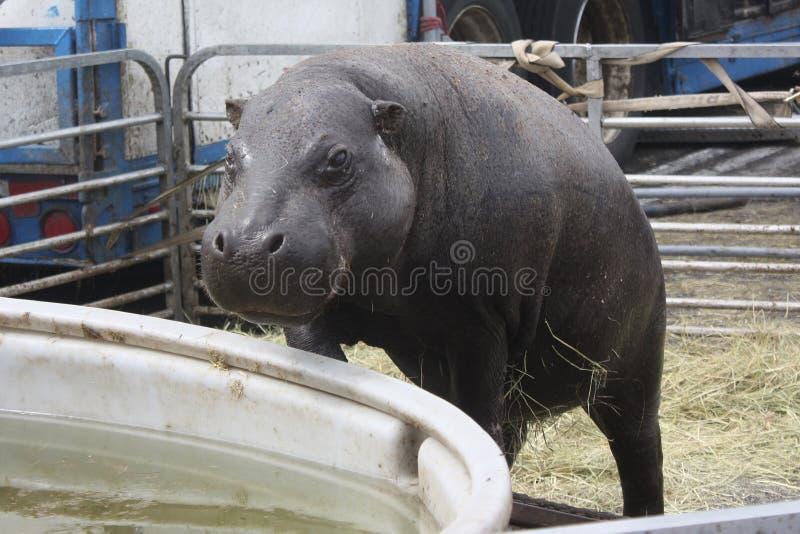Hipopótamo que escala na associação