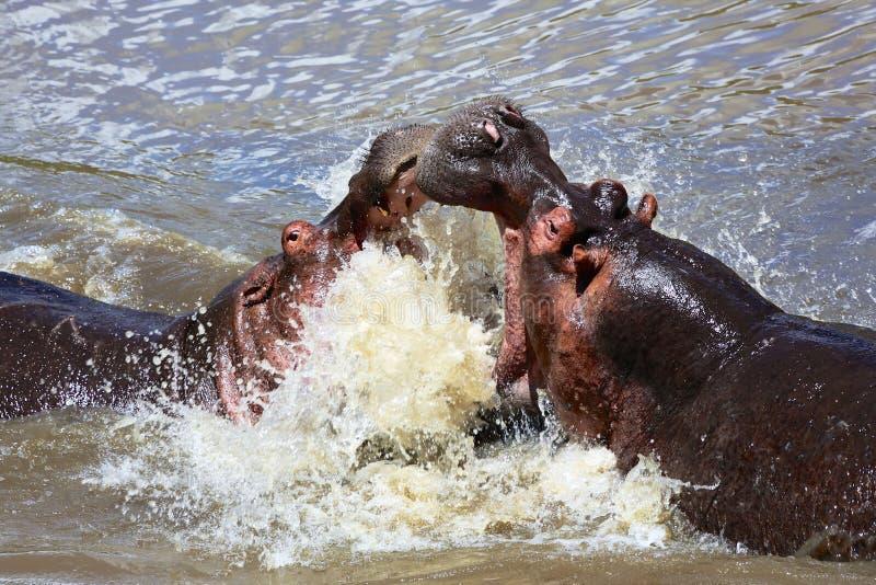 Hipopótamo que lucha en el parque nacional Kenia de Mara del masai foto de archivo