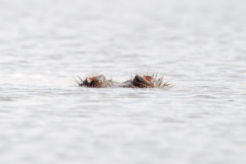 Hipopótamo que respira com somente o nariz fora da água fotografia de stock