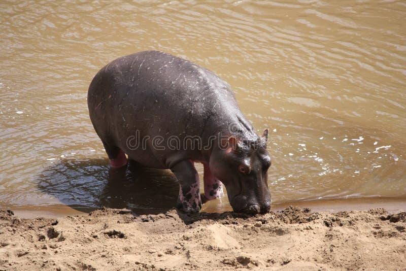 Hipopótamo que sae da água foto de stock royalty free