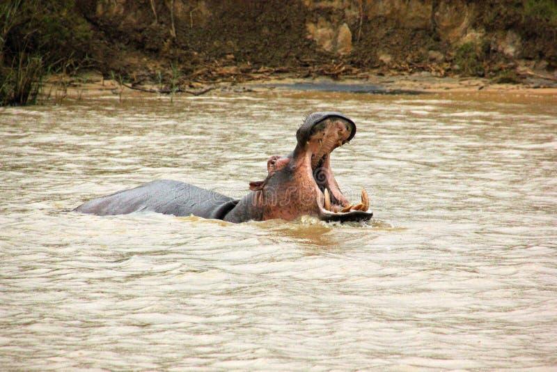Hipopótamo St Lucia fotografia de stock