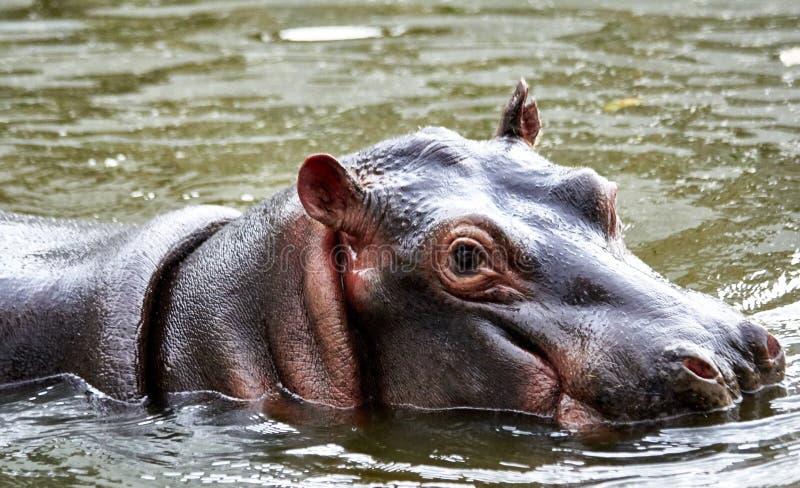 Hipopótamo submerso em sua lagoa fotos de stock royalty free