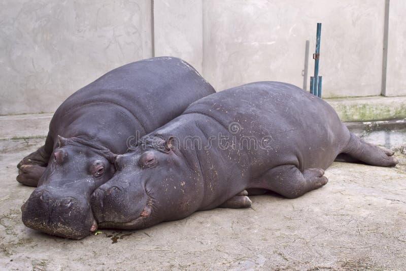 Hipopótamo y su cachorro imagenes de archivo