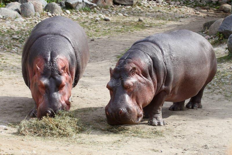 Hipopótamos fotografía de archivo libre de regalías