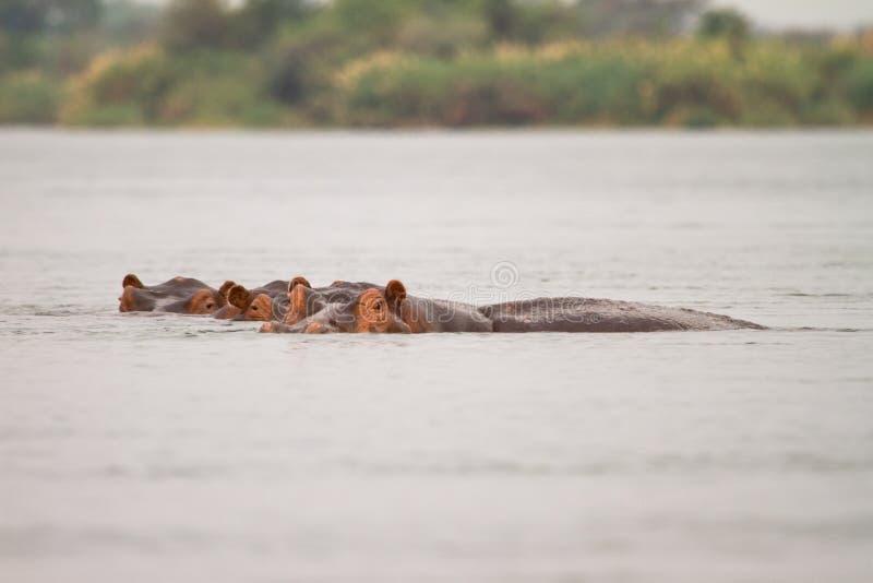 Hipopótamos fotos de archivo libres de regalías