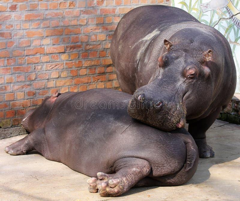 Hipopótamos imagen de archivo libre de regalías
