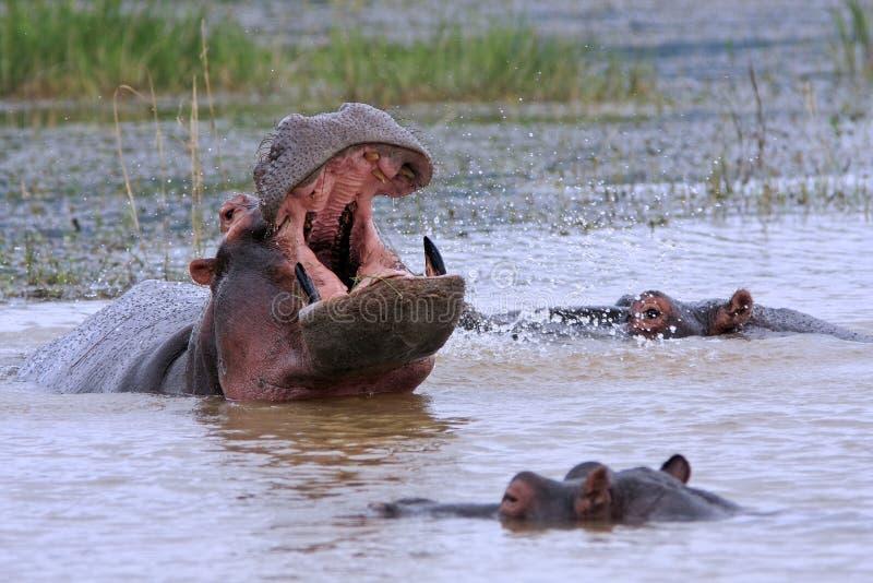 Hipopótamos africanos salvajes foto de archivo libre de regalías