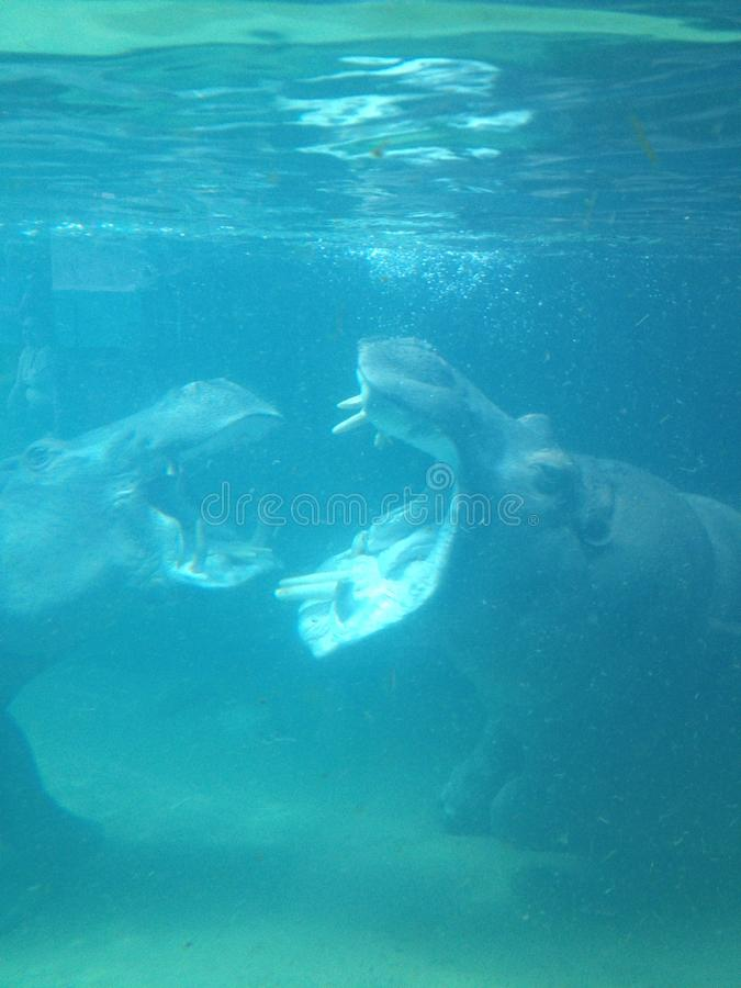 Hipopótamos com fome fotografia de stock royalty free