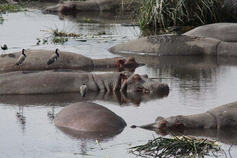 Hipopótamos da cratera de Ngorongoro fotos de stock