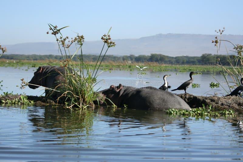 Hipopótamos e Cormorants branco-necked fotos de stock royalty free