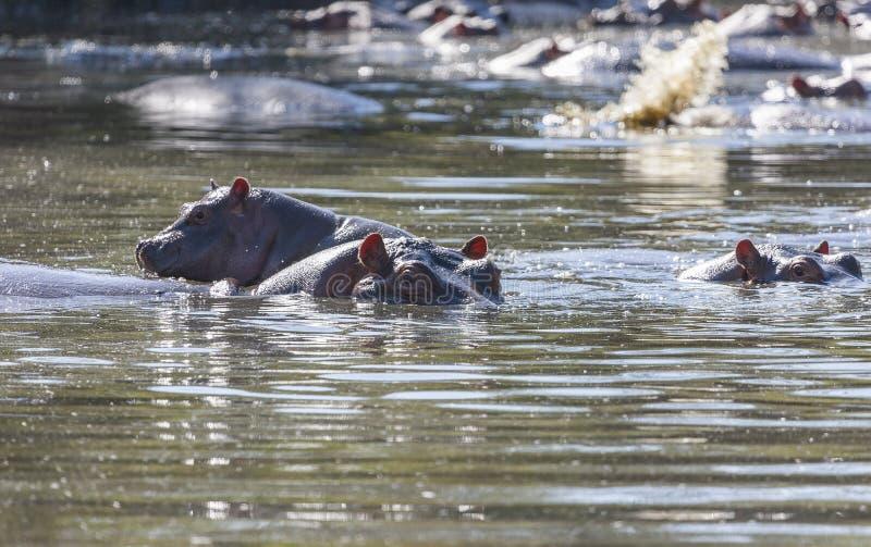 Hipopótamos em um waterhole do Serengeti imagem de stock royalty free