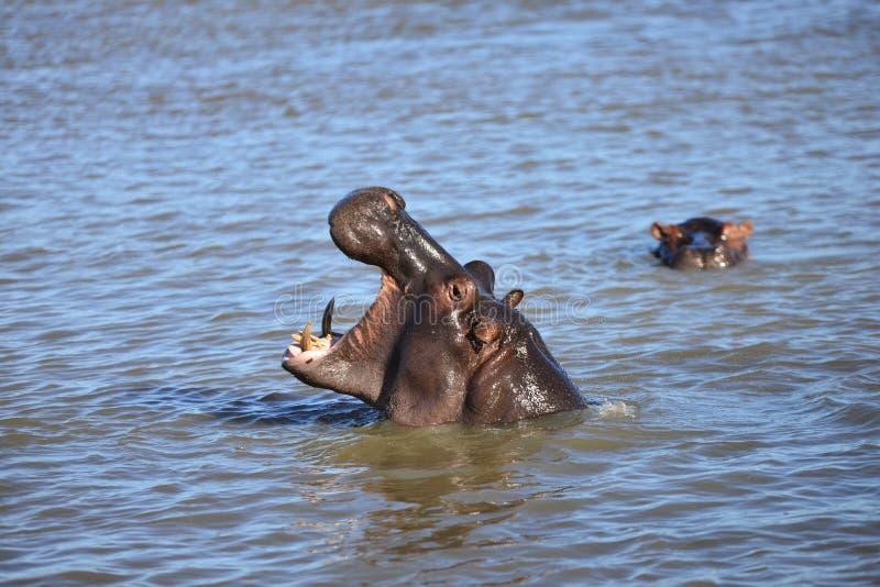 Hipopótamos en África fotografía de archivo