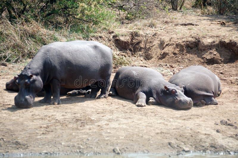 Hipopótamos en los agujeros de un riego fotos de archivo