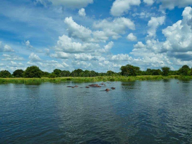 hipopótamos na superfície em África no verão imagens de stock