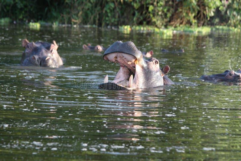 Hipopótamos no lago foto de stock