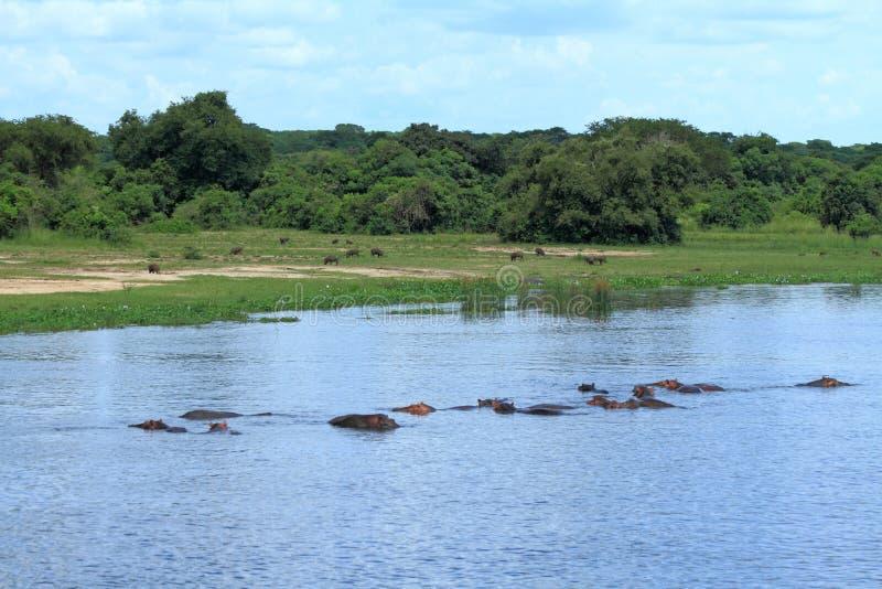 Hipopótamos no rio com javalis africanos que pastam no fundo fotografia de stock