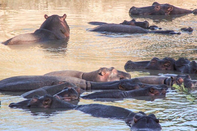 Hipopótamos no rio de Mara fotografia de stock