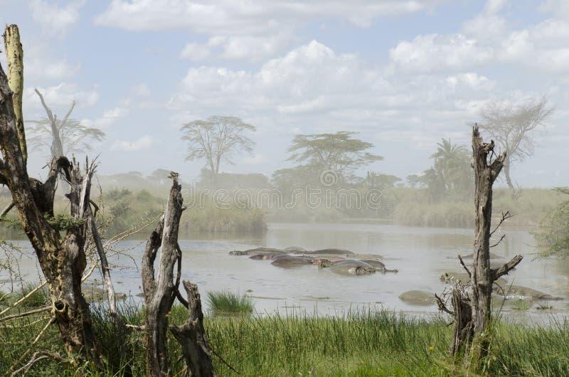 Hipopótamos no rio no parque nacional de Serengeti fotografia de stock