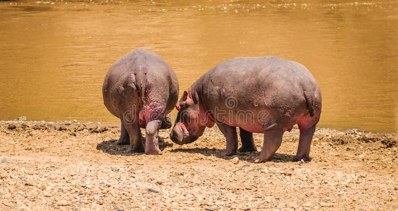 Hipopótamos que descansam momentaneamente além de um rio fotografia de stock royalty free