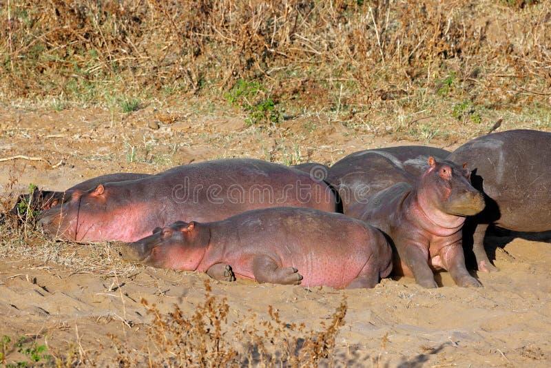 Hipopótamos que descansam na terra imagem de stock royalty free