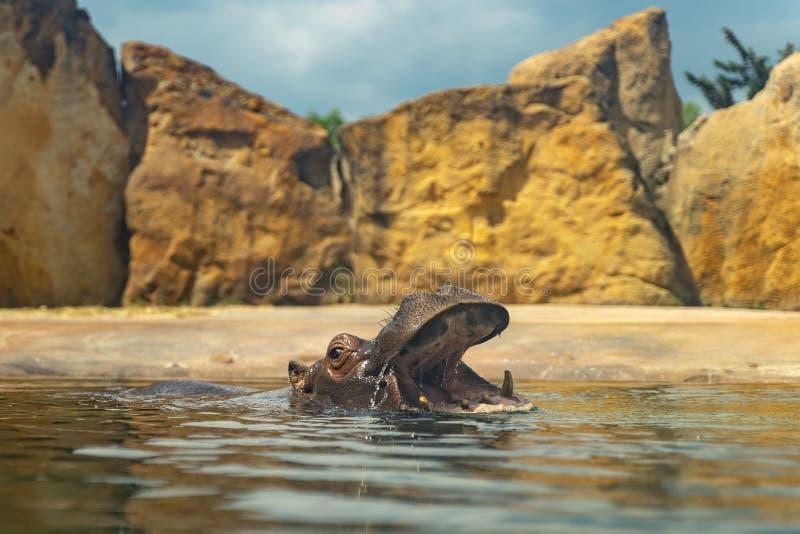 Hipop?tamo en agua con la boca abierta Animal grande de ?frica que nada Momento peligroso imagen de archivo