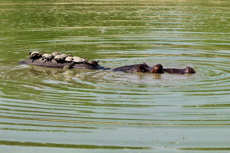 Hipopotamów żółwie na plecy w wodzie obraz royalty free