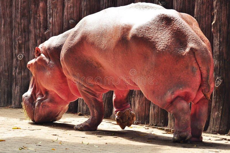 hipopotam obraz stock