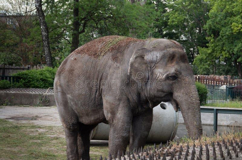 Hipopotam cieszy się chłodno wodę na gorącym letnim dniu obrazy royalty free