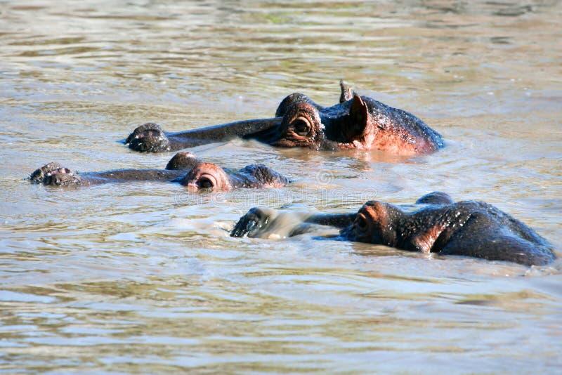 Download Hipopotam, Hipopotam Grupa W Rzece. Serengeti, Tanzania, Afryka Zdjęcie Stock - Obraz złożonej z zwierzę, ampuła: 28951248