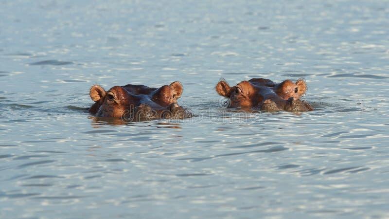 Hipopotam, Jeziorny Chamo, Etiopia, Afryka obraz royalty free