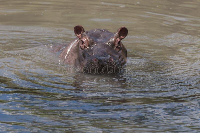 Hipopotam kierowniczy właśnie nad - wodna okładzinowa kamera zdjęcia stock
