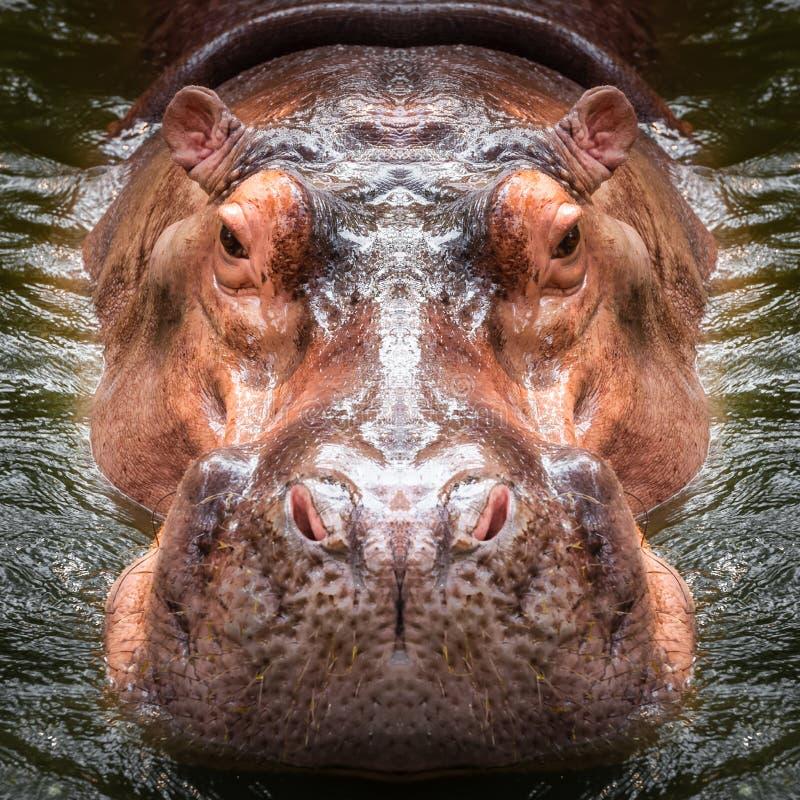 Hipopotam twarzy zakończenie up fotografia stock