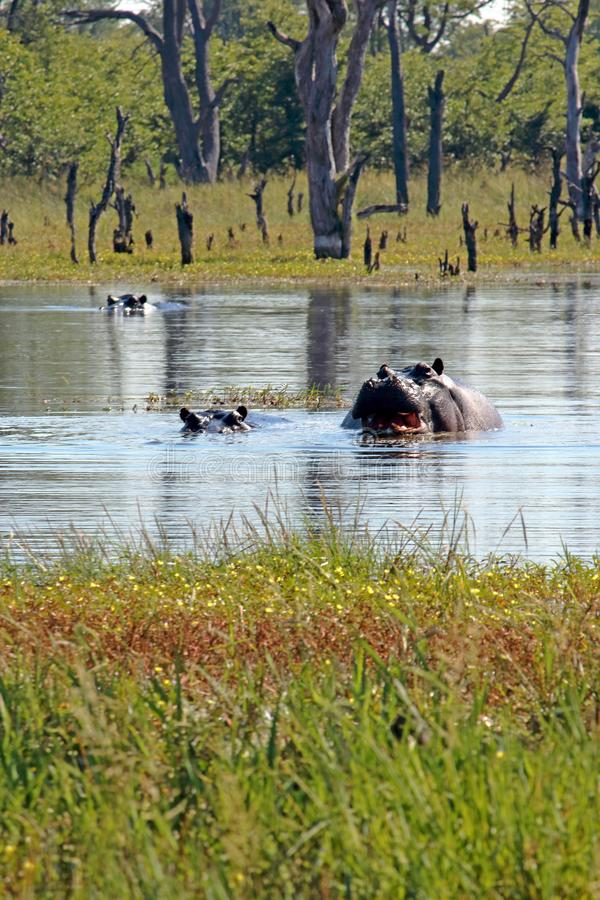 HIPOPOTAM W WODNYM basenie WYSTAWIA TERYTORIALNEGO OSTRZEGAWCZEGO zachowanie obraz stock