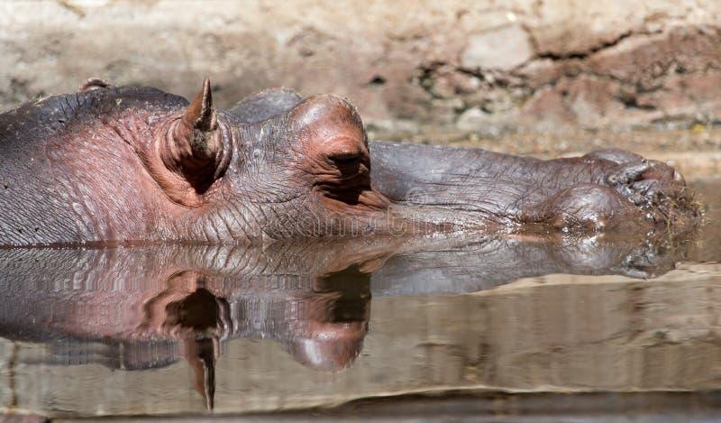 Hipopotam w wodzie zdjęcie royalty free