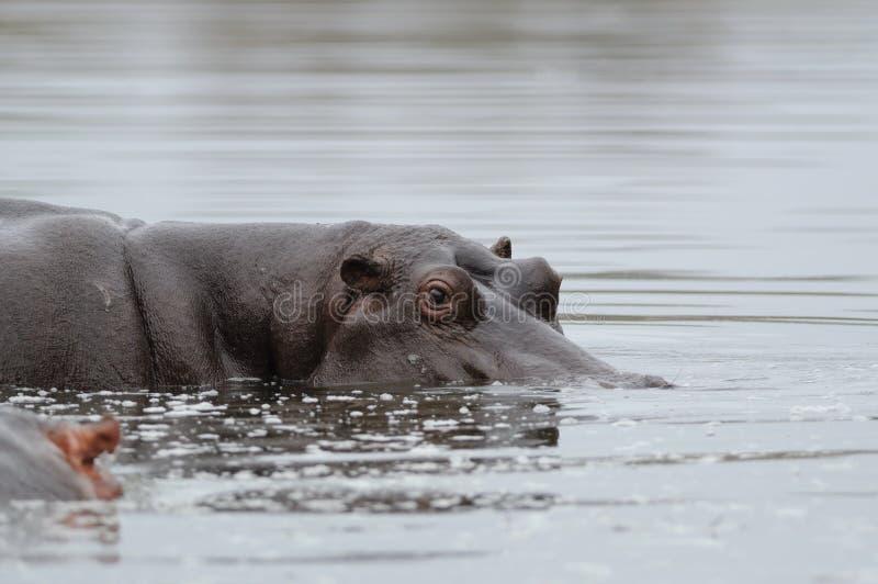 hipopotam wodny target2005_0_ patrzeć zdjęcia royalty free