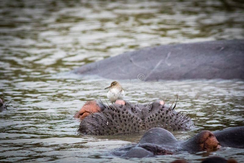Hipopotam z ptakiem zdjęcia royalty free
