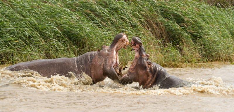 Hipopotama bój fotografia stock