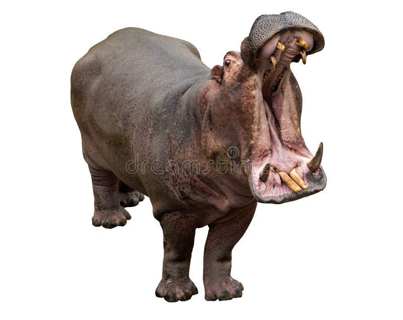 Hipopotama otwarcia szczęki na białym tle obraz stock