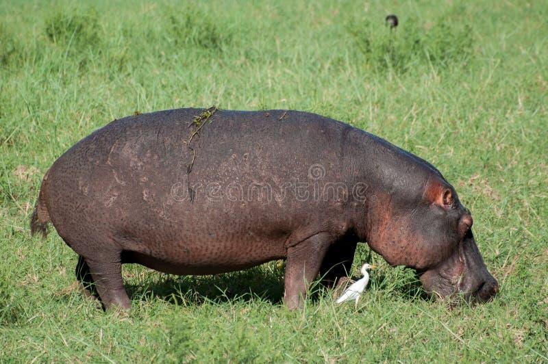Hipopotama pasanie zdjęcie royalty free
