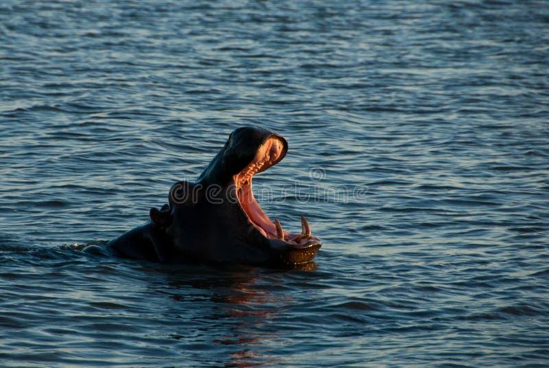 Hipopotama poziewanie zdjęcia stock