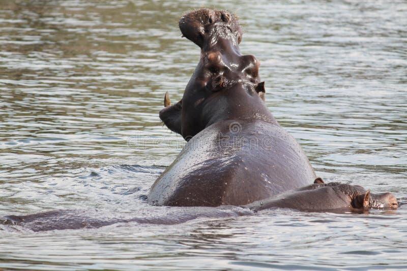 hipopotama ziewanie zdjęcie royalty free