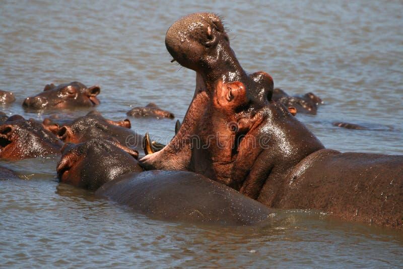 hipopotama ziewanie obrazy royalty free