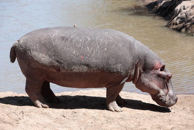 Hipopotamowa Masai Mara rezerwa Kenja Afryka fotografia royalty free