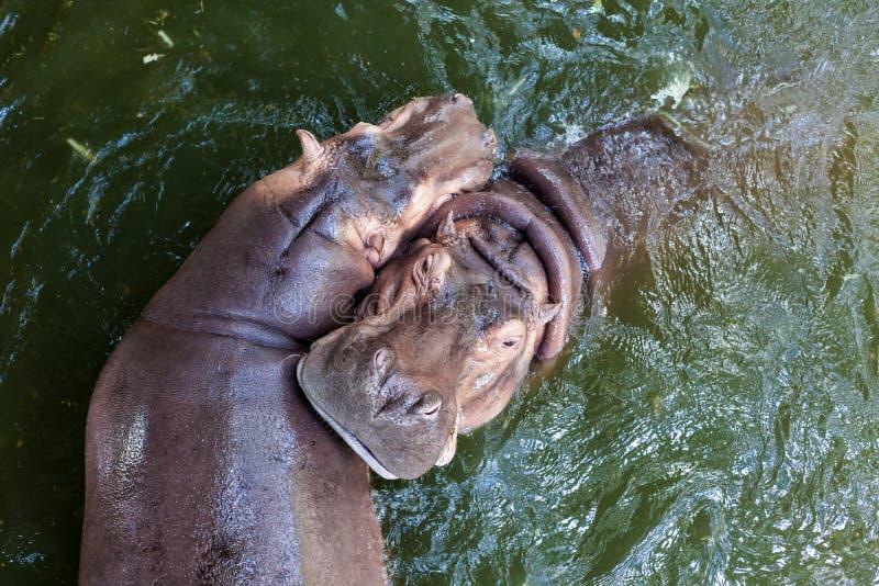 Hipopotamowy dopłynięcie w wodzie zdjęcia stock