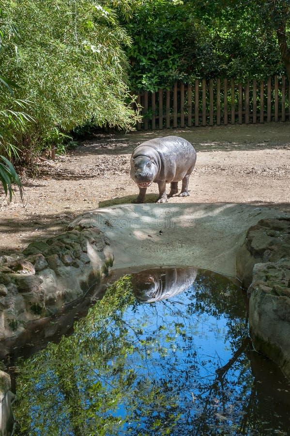 Hipopotamowy pigmej w zoo parku obraz stock